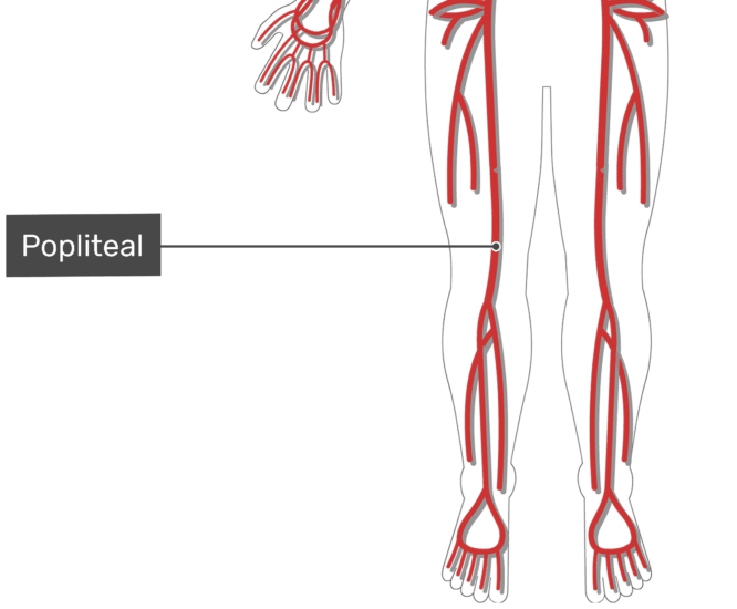 Labelled image of the popliteal artery of the thigh with skeleton hidden.