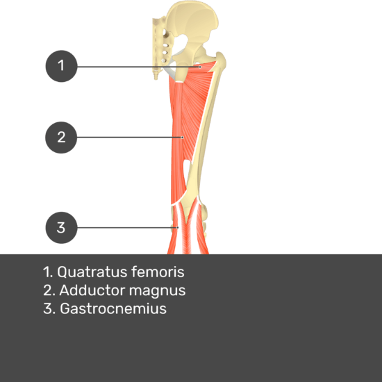 Test yourself image 13, posterior view of thigh and gluteal region. Muscles and structures labelled-quadratus femoris, adductor magnus, gastrocnemius.