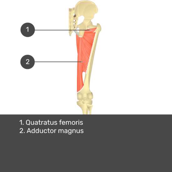 Test yourself image 14, posterior view of thigh and gluteal region. Muscles and structures labelled-quadratus femoris, adductor magnus.