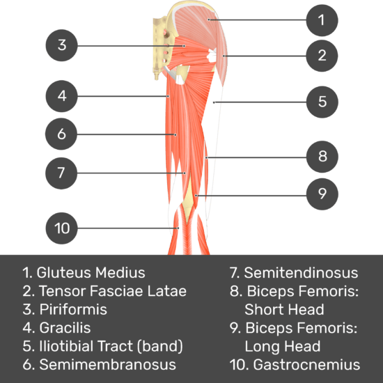 Test yourself image 4, posterior view of thigh and gluteal region. Muscles and structures labelled- gluteus medius, tensor fasciae latae, gracilis, iliotibial tract (band), semimembranosus, semitendinosus, biceps femoris: short head, biceps femoris: long head, gastrocnemius.