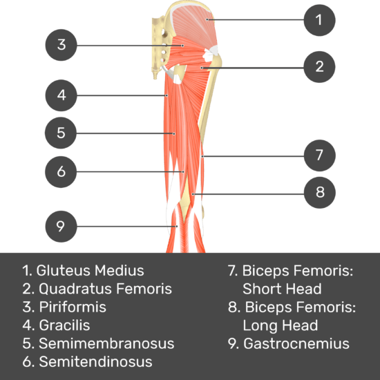 Test yourself image 5, posterior view of thigh and gluteal region. Muscles and structures labelled- gluteus medius, piriformis, quadratus femoris, gracilis, semimembranosus, semitendinosus, biceps femoris: short head, biceps femoris: long head, gastrocnemius.