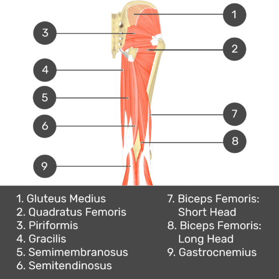Test yourself image 6, posterior view of thigh and gluteal region, gluteus minimus visible through medius. Muscles and structures labelled- gluteus medius, piriformis, quadratus femoris, gracilis, semimembranosus, semitendinosus, biceps femoris: short head, biceps femoris: long head, gastrocnemius.