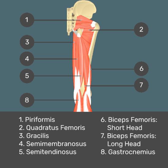 Test yourself image 8, posterior view of thigh and gluteal region. Muscles and structures labelled-piriformis, quadratus femoris, gracilis, semimembranosus, semitendinosus, biceps femoris: short head, biceps femoris: long head, gastrocnemius.