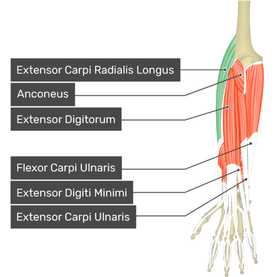 A posterior view of the forearm showing the bony elements and the deeper muscles. The visible, labelled muscles are as follows: Extensor Carpi Radialis Longus (highlighted in green), Anconeus, Extensor Digitorum, Flexor Carpi Ulnaris, Extensor Digiti Minimi and Extensor Carpi Ulnaris.