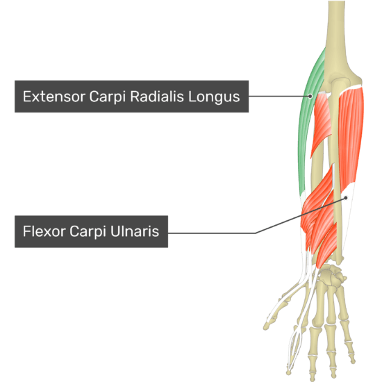 A posterior view of the forearm showing the bony elements and the deeper muscles. The visible, labelled muscles are as follows: Extensor Carpi Radialis Longus (highlighted in green) and Flexor Carpi Ulnaris.