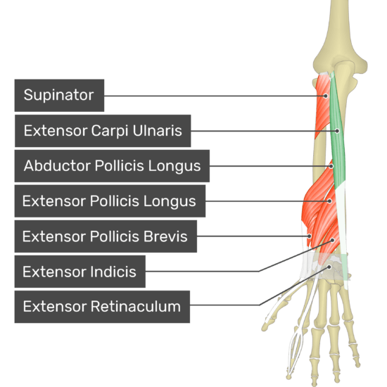 A posterior view of the forearm showing the bony elements and the deeper muscles. The visible, labelled muscles are as follows: Supinator, Extensor Carpi Ulnaris (highlighted in green), Abductor Pollicis Longus, Extensor Pollicis Longus, Extensor Pollicis Brevis, Extensor Indicis and Extensor Retinaculum.