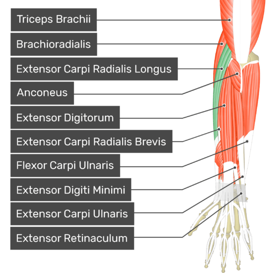 A posterior view of the forearm showing the bony elements and the deeper muscles. The visible, labelled muscles are as follows: Triceps Brachii, Brachioradialis, Extensor Carpi Radialis Longus (highlighted in green), Anconeus, Extensor Digitorum, Extensor Carpi Radialis Brevis, Flexor Carpi Ulnaris, Extensor Digiti Minimi, Extensor Carpi Ulnaris and Extensor Retinaculum.