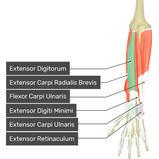 A posterior view of the forearm showing the bony elements and the deeper muscles. The visible, labelled muscles are as follows: Extensor Digitorum (highlighted in green), Extensor Carpi Radialis Brevis, Flexor Carpi Ulnaris, Extensor Digiti Minimi, Extensor Carpi Ulnaris and Extensor Retinaculum.