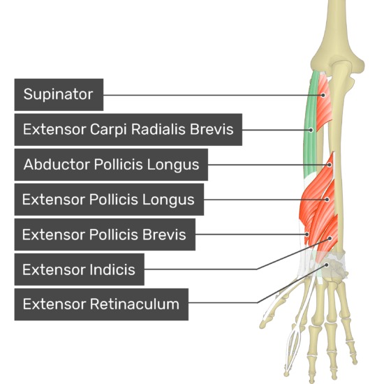 A posterior view of the forearm showing the bony elements and the deeper muscles. The visible, labelled muscles are as follows: Supinator, Extensor Carpi Radialis Brevis (highlighted in green), Abductor Pollicis Longus, Extensor Pollicis Longus, Extensor Pollicis Brevis, Extensor Indicis and Extensor Retinaculum.