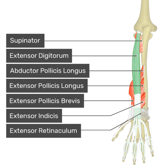 A posterior view of the forearm showing the bony elements and the deeper muscles. The visible, labelled muscles are as follows: Supinator, Extensor Digitorum (highlighted in green), Abductor Pollicis Longus, Extensor Pollicis Longus, Extensor Pollicis Brevis, Extensor Indicis and Extensor Retinaculum.