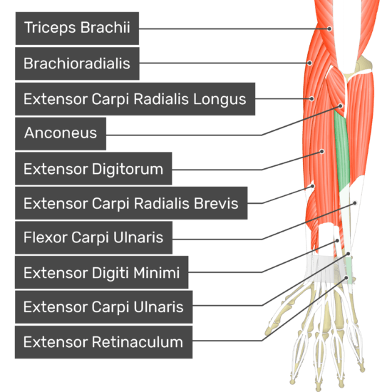 A posterior view of the forearm showing the bony elements and the deeper muscles. The visible, labelled muscles are as follows: Triceps Brachii, Brachioradialis, Extensor Carpi Radialis Longus, Anconeus, Extensor Digitorum, Extensor Carpi Radialis Brevis, Flexor Carpi Ulnaris, Extensor Digiti Minimi, Extensor Carpi Ulnaris (highlighted in green) and Extensor Retinaculum.