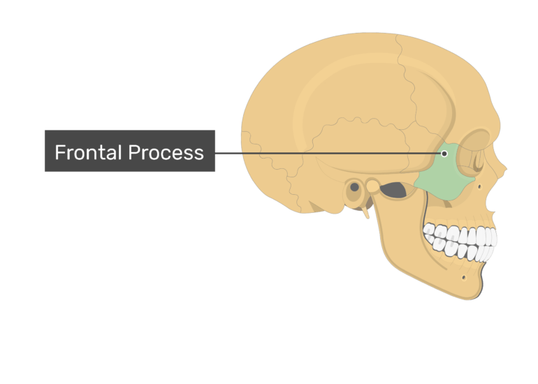 The frontal process highlighted