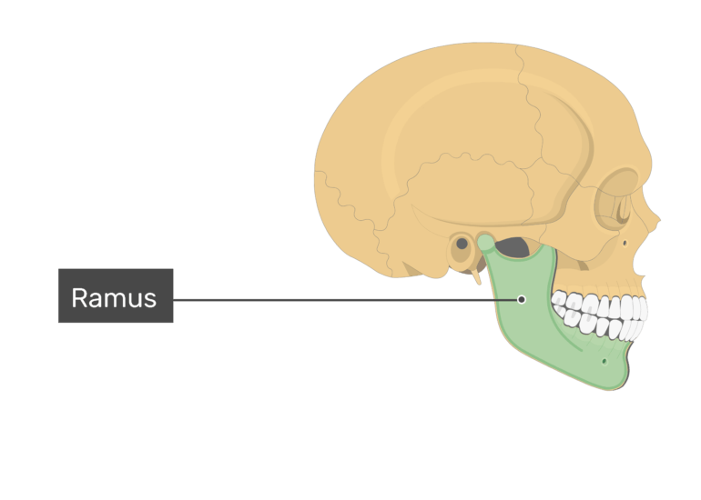 The ramus of the mandible bone