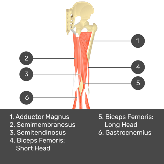 Test yourself image 10, posterior view of thigh and gluteal region. Muscles and structures labelled- adductor magnus, semimembranosus, semitendinosus, biceps femoris: short head, biceps femoris: long head, gastrocnemius.