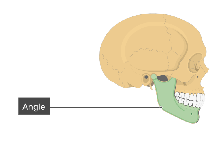 The angle of the mandible bone