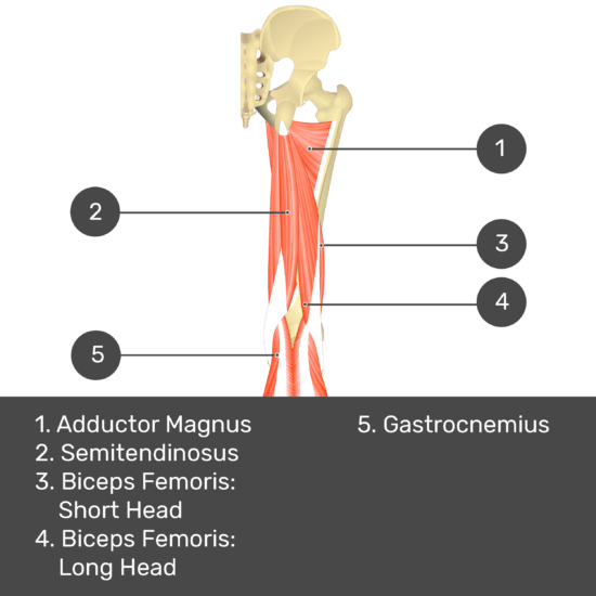 Test yourself image 11, posterior view of thigh and gluteal region. Muscles and structures labelled- adductor magnus, semitendinosus, biceps femoris: short head, biceps femoris: long head, gastrocnemius.