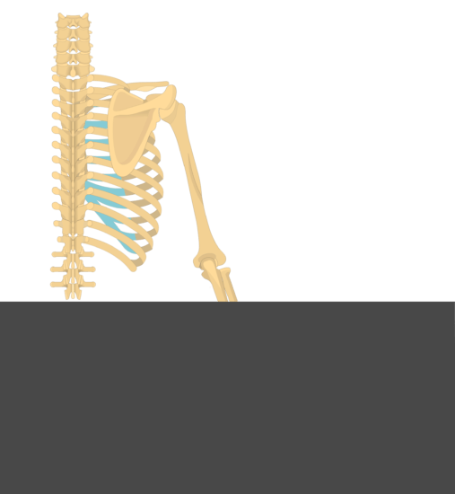 Test yourself image of skeleton of posterior view of back and right arm.