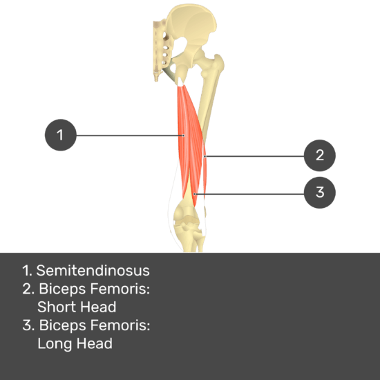 Test yourself image 12, posterior view of thigh and gluteal region. Muscles and structures labelled-semitendinosus, biceps femoris: short head, biceps femoris: long head.