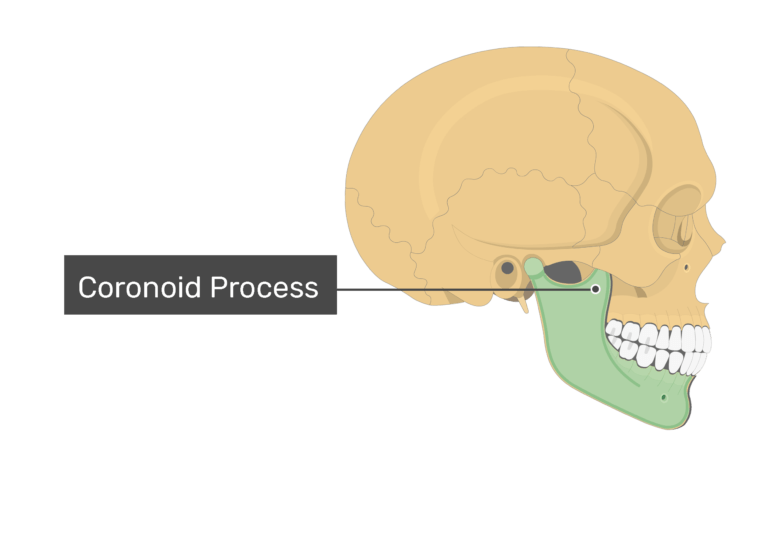 The coranoid process of the mandible