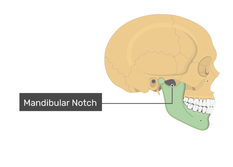 The mandibular notch of the mandibular bone