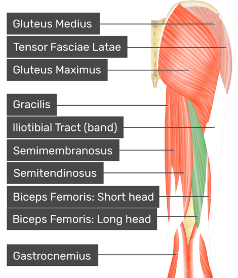 Posterior view of thigh and gluteal region, long head of biceps femoris highlighted. Labelled muscles: gluteus medius, tensor fasciae latae, gluteus maximus, gracilis, iliotibial tract (band), semimembranosus, semitendinosus, biceps femoris: short head, biceps femoris: long head, gastrocnemius.