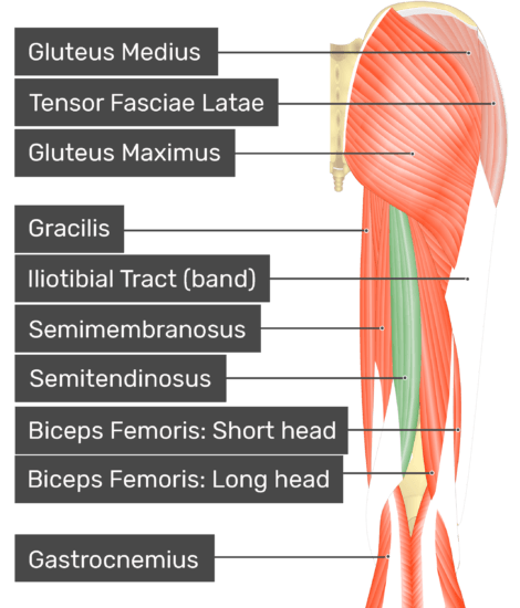 Posterior view of the thigh and gluteal region with semitendinosus highlighted. Labelled muscles: gluteus medius, tensor fasciae latae, gluteus maximus, gracilis, iliotibial tract (band), semimembranosus, semitendinosus, biceps femoris: short head, biceps femoris: long head, gastrocnemius.