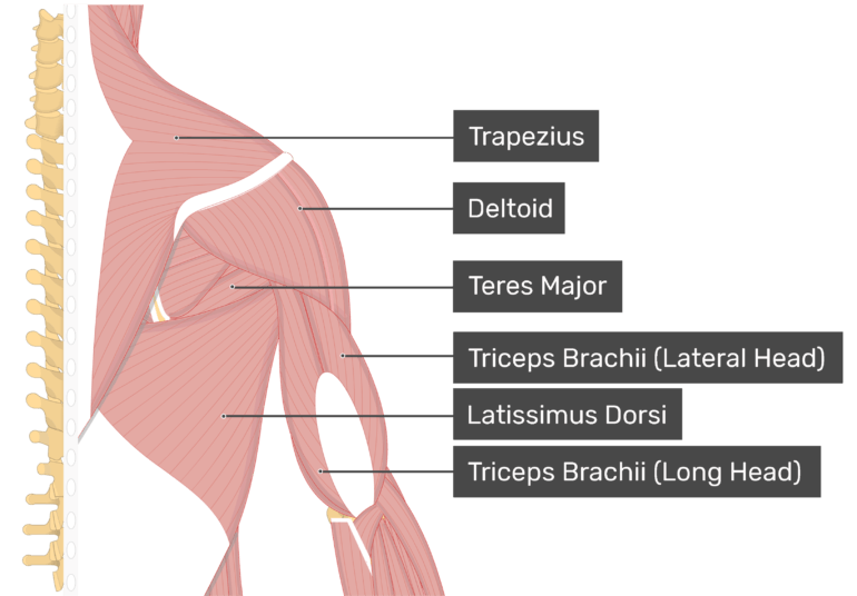 Image showing superficial muscles of the back and posterior shoulder and arm. Labelled muscles: trapezius, deltoid, infraspinatus, teres major, triceps brachii (lateral head), triceps brachii (long head), latissimus dorsi.
