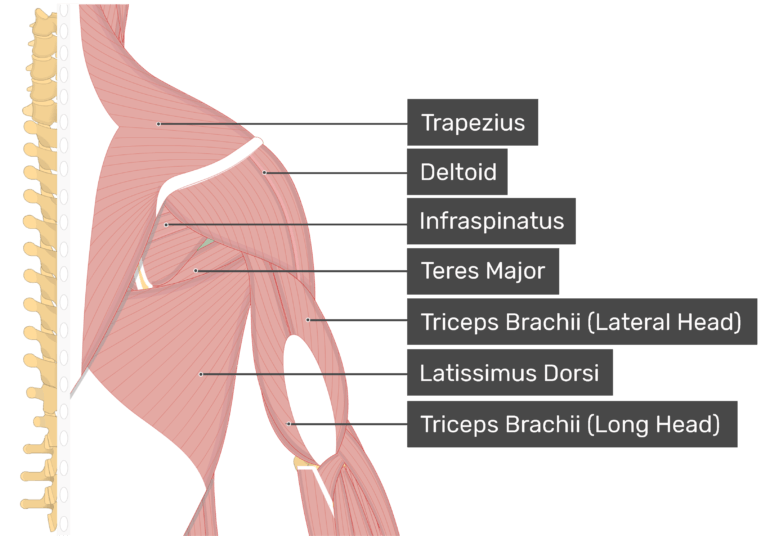 Image showing superficial muscles of the back and posterior shoulder and arm. Teres minor highlighted. Labelled muscles: trapezius, deltoid, infraspinatus, teres major, triceps brachii (lateral head), triceps brachii (long head), latissimus dorsi.