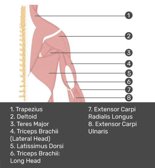 Test yourself image of posterior view of back and right arm. Muscles labelled: trapezius, deltoid, teres major, triceps brachii (lateral head), triceps brachii (long head), latissimus dorsi, extensor carpi radials longus, extensor carpi ulnaris.