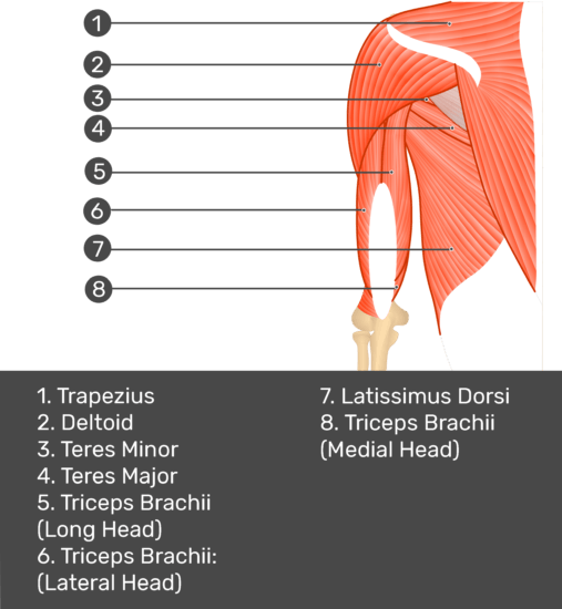 Test yourself image of the posterior arm and shoulder. Muscles labelled: trapezius, deltoid, teres minor, teres major, teres minor, teres major, triceps brachii long head, triceps brachii lateral head, latissimus dorsi, triceps brachii medial head.