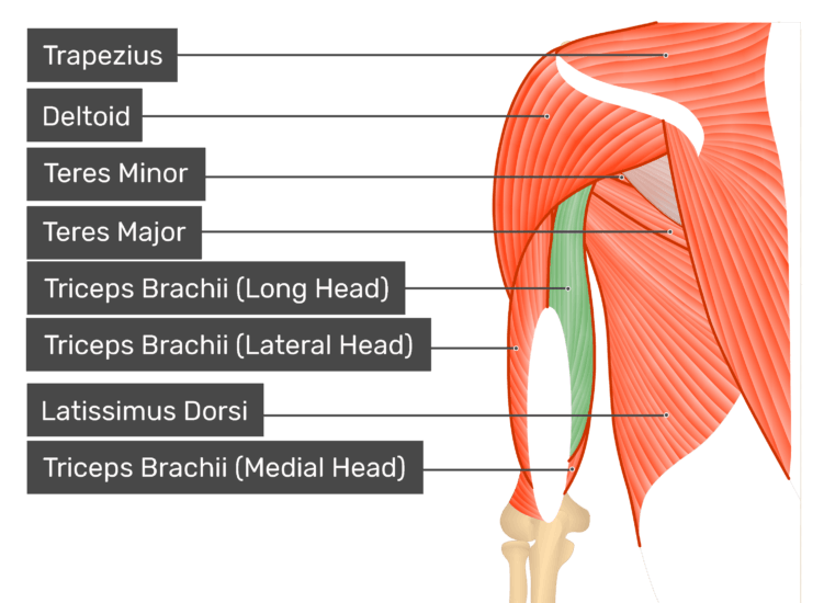 Posterior view of the shoulder and arm triceps brachii long head highlighted. Muscles labelled - trapezius, deltoid, teres major, teres minor, latissimus dorsi, triceps brachii long head, triceps brachii lateral head, triceps brachii medial head.