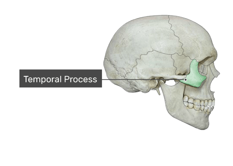 The temporal process highlighted on bone