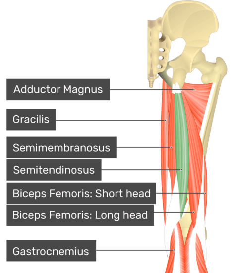 Posterior view of the thigh and gluteal region with semitendinosus highlighted. Labelled muscles: adductor magnus, gracilis, semimembranosus, semitendinosus, biceps femoris: short head, biceps femoris: long head, gastrocnemius.