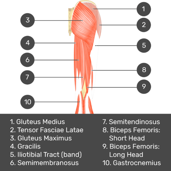 Test yourself image 2, posterior view of thigh and gluteal region, all superficial muscles and structures labelled- gluteus medius, tensor fasciae latae, gluteus maximus, gracilis, iliotibial tract (band), semimembranosus, semitendinosus, biceps femoris: short head, biceps femoris: long head, gastrocnemius.