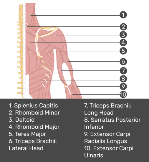 Test yourself image of posterior view of back and right arm. Muscles labelled: splenius capitis, rhomboid minor, deltoid, rhomboid major, teres major, triceps brachii (lateral head), triceps brachii (long head), serratus posterior inferior, extensor carpi radials longus, extensor carpi ulnaris.