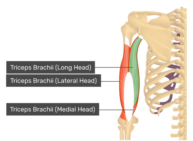 Posterior view of the shoulder and arm triceps brachii long head highlighted. Muscles labelled - triceps brachii long head, triceps brachii lateral head, triceps brachii medial head.