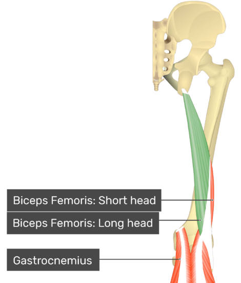 Posterior view of thigh and gluteal region, long head of biceps femoris highlighted. Labelled muscles: biceps femoris: short head, biceps femoris: long head, gastrocnemius.