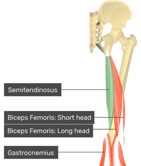 Posterior view of the thigh and gluteal region with semitendinosus highlighted. Labelled muscles: semitendinosus, biceps femoris: short head, biceps femoris: long head, gastrocnemius.