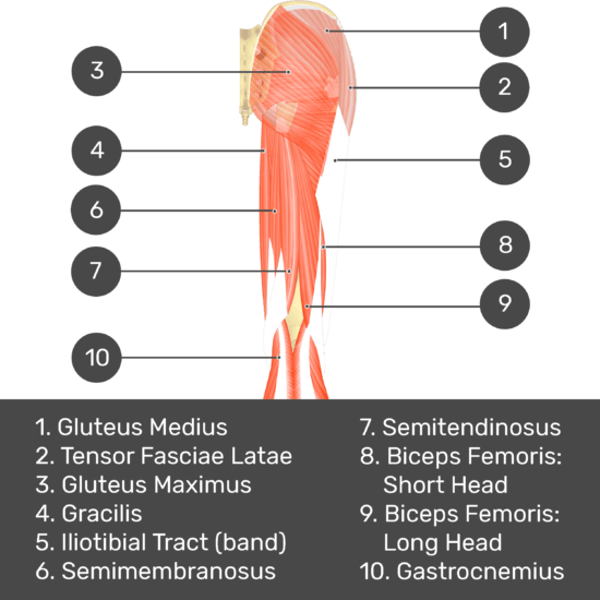 Test yourself image 3, posterior view of thigh and gluteal region, muscles and structures labelled- gluteus medius, tensor fasciae latae, gluteus maximus, gracilis, iliotibial tract (band), semimembranosus, semitendinosus, biceps femoris: short head, biceps femoris: long head, gastrocnemius.