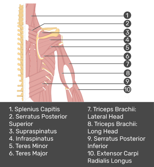 Test yourself image of posterior view of back and right arm. Muscles labelled: splenius capitis, serratus posterior superior, supraspinatus, infraspinatus, teres minor, teres major, triceps brachii (lateral head), triceps brachii (long head), serratus posterior inferior, extensor carpi radials longus.