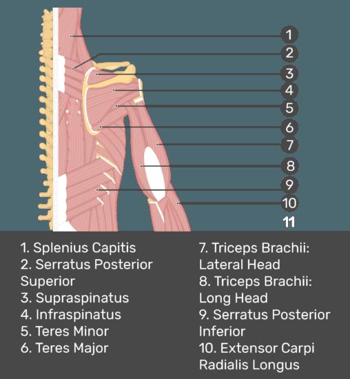 Test yourself image of posterior view of back and right arm. Muscles labelled: splenius capitis, serratus posterior superior, supraspinatus, infraspinatus, teres minor, teres major, triceps brachii (lateral head), triceps brachii (long head), serratus posterior inferior, extensor carpi radials longus.