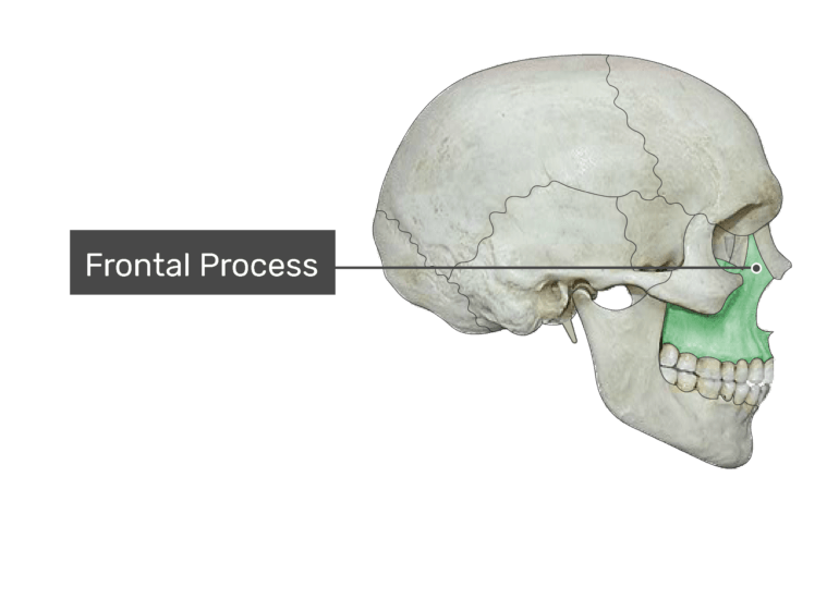 The frontal process highlighted on bone
