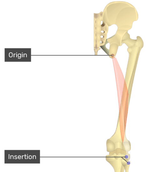 Posterior view of thigh and gluteal region, origin and insertion of long head of biceps femoris labelled.