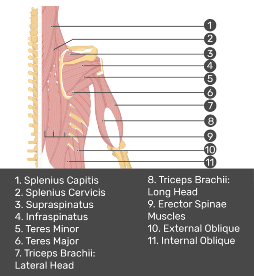 Test yourself image of posterior view of back and right arm. Muscles labelled: splenius capitis, splenius crevicis, supraspinatus, infraspinatus, teres minor, teres major, triceps brachii (lateral head), triceps brachii (long head), erector spinae muscles, external oblique, internal oblique.