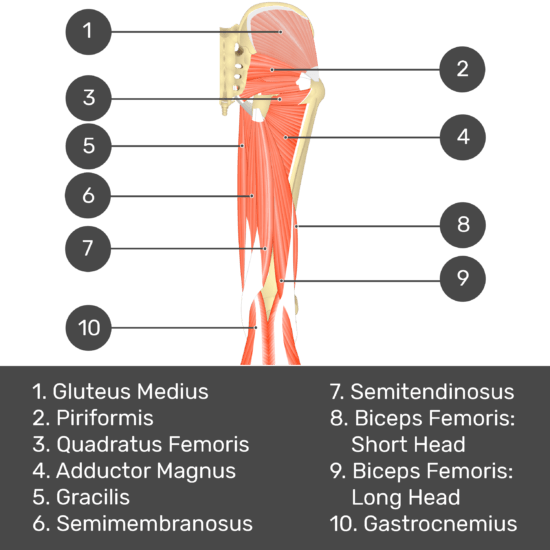 Test yourself image 5, posterior view of thigh and gluteal region. Muscles and structures labelled- gluteus medius, piriformis, quadratus femoris, adductor magnus, gracilis, semimembranosus, semitendinosus, biceps femoris: short head, biceps femoris: long head, gastrocnemius.