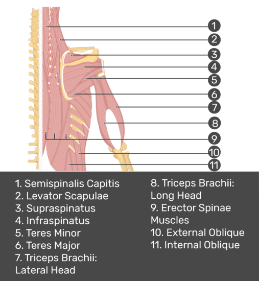 Test yourself image of posterior view of back and right arm. Muscles labelled: semispinalis capitis, elevator scapulae, supraspinatus, infraspinatus, teres minor, teres major, triceps brachii (lateral head), triceps brachii (long head), erector spinae muscles, external oblique, internal oblique.