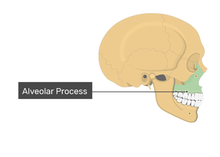 The alveolar process highlighted