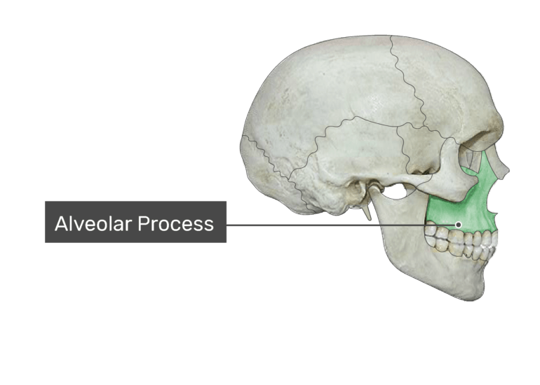 The alveolar process highlighted on bone