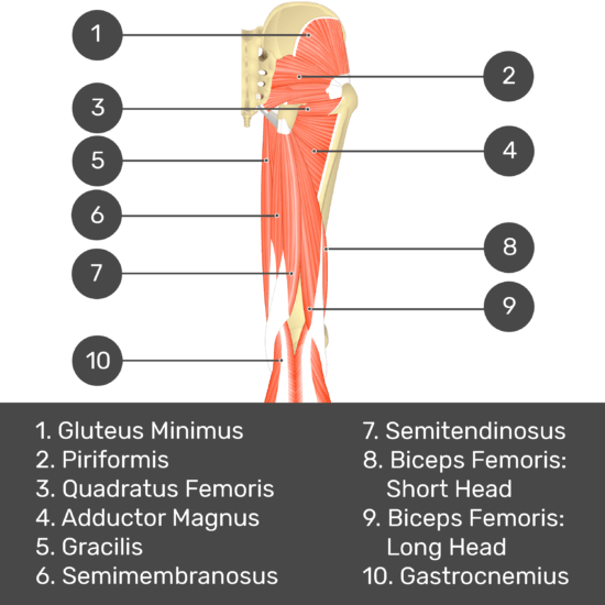 Test yourself image 6, posterior view of thigh and gluteal region. Muscles and structures labelled- gluteus minimus, piriformis, quadratus femoris, adductor magnus, gracilis, semimembranosus, semitendinosus, biceps femoris: short head, biceps femoris: long head, gastrocnemius.