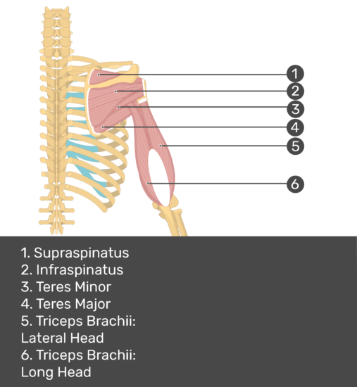 Test yourself image of posterior view of back and right arm. Muscles labelled: supraspinatus, infraspinatus, teres minor, teres major, triceps brachii (lateral head), triceps brachii (long head).